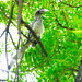 Indian Grey hornbill(female)