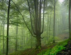 Chlorophyll (Ahio) Tags: light mist green forest spring woods beech haya bosques chlorophyll fagussylvatica piloña smcpentaxfa31mmf18allimited pentaxk5 montesdelinfierno