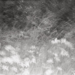 Summer Breeze (dougchinnery.com) Tags: flowers wild white black blur film grass mono wind pinhole grasses analogue agfa ilford icm chinnery panf50 intentionalcameramovement summerisolette
