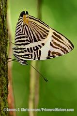 Colobura dirce (Primeval Nature) Tags: nature vertical butterfly insect rainforest day outdoor mosaic wildlife butterflies lepidoptera jag panama colon centralamerica insecta fullbody nymphalidae coloburadirce zebramosaic dircebeauty santaritaarriba