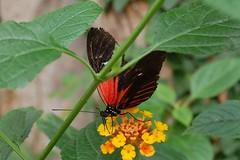 Doris Longwing Butterfly (KevReillyUK) Tags: butterfly zoo chester chesterzoo longwing dorislongwing dorislongwingbutterfly