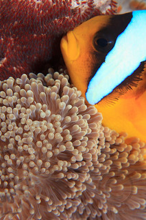 Twoband anemonefish (Amphiprion bicinctus) with Eggs