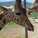 Reticulated aka Somali Giraffe (Giraffa camelopardalis reticulata)