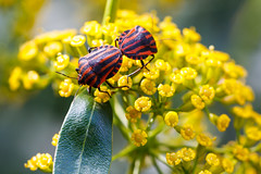 Bug love (FIDO Net) Tags: flowers macro bug beetle insects buttefly