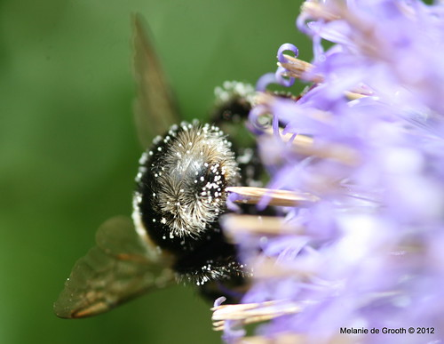 Bumble Bee on a Globe Thistle