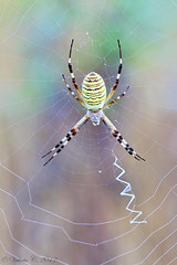 Argiope Sp. (ValeCrio) Tags: