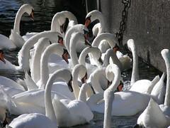 P8070166 (keepps) Tags: summer birds schweiz switzerland suisse swans lakegeneva vaud laclman