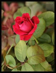 """DSC00113 (""""GALBA"""") Tags: flores planta flor jardin rosa rosas malaga rosal rosaleda jardinesdepuertaoscura jardinesdepedroluisalonso"""