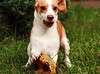 Beagle - wtf!? (my_webcat) Tags: winter sleeping dog white snow cute beagle dogs nature animals canon nose puppies sweet doug natur hound hund snoopy tricolor dagny doggy pup hunde tier hounds beagles bicolor earseyes