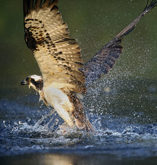 Osprey (David C Walker 1967) Tags: nature wildlife aviemore osprey cairngorms cairngormnationalpark specanimal ospreyfishing nikond3s