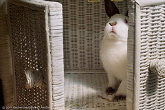 Mackey (ambienteye) Tags: pet white cute rabbit bunny animal fur adorable ears paws