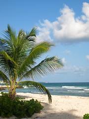 Palm tree, Barbados (www.Barbados.org) Tags: ocean sea island sand bluesky palmtree tropical barbados caribbean coconuttree idyllic