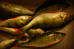 Perch (Basse911) Tags: fish suomi finland perch fisk kitchensink diskho ahven abborre percafluviatilis kalaa