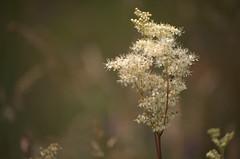 Dreamy Meadowsweet (-- Green Light Images --) Tags: england yorkshire northyorkshire rosaceae filipendulaulmaria hambletonhills hawnby rawtherapee dsc7001editedrt