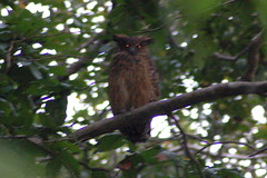 Brown Fish-owl (Alexander Yates) Tags: travel india bird nature ilovenature wildlife birding birdwatching corbett brownfishowl ketupazeylonensis