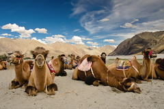 Bactrian Camels - Hunder, Nubra Valley (Souvik_Prometure) Tags: india desert safari camel leh ladakh nubravalley tsomoriri hunder bactriancamel jammukashmir jammuandkashmir nub