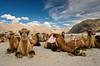 Bactrian Camels - Hunder, Nubra Valley (Souvik_Prometure) Tags: india desert safari camel leh ladakh nubravalley tsomoriri hunder bactriancamel jammukashmir jammuandkashmir nubra diskit supershot abigfave impressedbeauty sigma1750 flickrdiamond sigma1750mm sigma1750mmf28 nikond7000 souvikbhattacharya hundervillage sunrays5