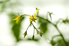 Tomato flowers (Erlend Myhren) Tags: flower vegetables norway tomato norge nikon eating blomst grønnsaker grimstad tomatblomst healty d300s sunnhet hesnesgartneri
