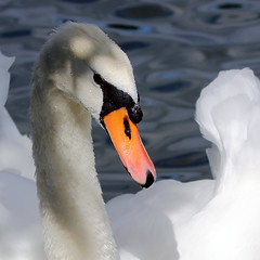 J77A5970 -- Wet face of a swan mother (Nils Axel Braathen -- Thanks a lot for +200K views) Tags: france nature birds swan wildlife soe cygne fugler oiseaux cygnusolor autofocus levsinet hckerschwan thegalaxy vogeln natureselegantshots tuberculcygne mygearandme mygearandmepremium mygearandmebronze hennysanimals cygnecygne flickrstruereflection1 flickrstruereflection2 flickrstruereflection3 flickrstruereflection4 highqualityanimals rememberthatmomentlevel1 flickrsfinestimages1 rememberthatmomentlevel2 rememberthatmomentlevel3 muetmuteswan