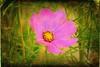 cosmos flower (Robin.Benea) Tags: pink flower green texture nature interesting sony beauties cosmos beatiful h50 mygearandme ringexcellence rememberthatmomentlevel1
