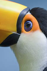 Toco toucan (Ramphastos toco) (Jeroen ten Haaf) Tags: blue brazil orange sunlight white black color reflection bird eye texture peru southamerica nature argentina colors beautiful beauty birds yellow closeup america canon woodland photography zoo daylight photo toucan focus colorful raw dof natural bright photos bokeh details lowlands beak bolivia sharp jungle tropical species paraguay favourite majestic vogel centralamerica eyecatcher savanna toco birdwatcher dierentuin toucans birdlife habitats toekan amazonriver ramphastos ramphastostoco tocotoucan exoticbirds ramphastidae reuzentoekan fruiteater simplysuperb colorfulbills commontoucan largesttoucan