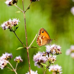 Rotbraunes Ochsenauge (Pyronia tithonus) (thunderbird-72) Tags: makro grn macro tamronspaf60mmf2diiimacro majoran flower butterfly blume schmetterling sommer nikond90 orange blumen