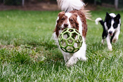 Loki in the lead (Crawford Canines) Tags: bordercollies puppy dog animal mammal ball holleeroller fetch outdoors grass summer