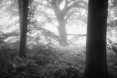 0136 (gcu_sketcher) Tags: morning trees summer bw mist sunrise woodland dawn countryside woods somerset daybreak xt1 silverefexpro xf1655