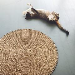 floor o'clock (mennyj) Tags: cat vegas devonrex porch home homepad stretch catyoga ikea highfive summer
