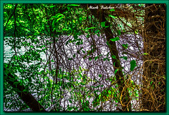 (358/365) Wild Woods (Pentax K-x Connecticut Man) Tags: trees woods vines water lake green detail tangled web pentax justpentax pentaxkx tamron tamron2880mm windows10 lightroom571 dslr color nature shrubbery lakeside afternoon zoomlens topaz clarity pentaxart guiffridapark meridenct branches leaves 358365days greenforest