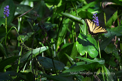Tiger Swallowtail Butterfly (Mike Woodfin) Tags: park county color nature contrast photoshop canon tampa photography photo cool nikon pretty fuji florida photos country picture photograph fl hillsborough hillsboroughcounty mikewoodfin mikewoodfinphotography