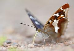 Purple emperor (Mike Mckenzie8) Tags: uk iris wild macro canon butterfly insect outdoor wildlife salt minerals british apatura