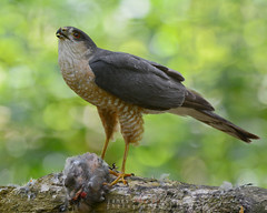 Sharp-shinned Hawk (jamesahawley) Tags: hawks accipiter raptor birdsofprey hawk bird wildlife animals