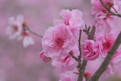 Sakura in Hanami 🌸 1 (satochappy) Tags: sakura hanami auburnbotanicgardens japanesegarden sydney auburn spring 桜 花見 春 花 シドニー pink cherryblossoms garden australia 桜祭り