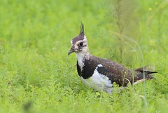 Young northern lapwing (Vanellus vanellus) (Sirke Vaarma) Tags: tyhthyypp vanellus lapwing bird lintu