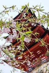 Itsukushima XIII (Douguerreotype) Tags: shrine temple buddhist hiroshima japan miyajima sakura red pagoda cherryblossom blossom pink cherry