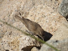 Rock wren (nareshaweb) Tags: california places wildlife birds inyonf inyocounty