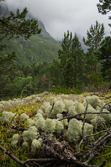 Treelets (Serious Andrew Wright) Tags: norway andalsnes rauma trollveggen moreogromsdal romsdalen lichen moss trees vegetation flora nature green plants perspective miniature cloudy overcast weather mountains