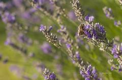 _DSC3938 todo pa mi (Rodo Lpez) Tags: abejas insectos polen naturaleza nature naturalezacautivadora naturebynikon elbierzo elcampo elparque castillayleon castillayleonesvida spain nikon nikonistas explore aire