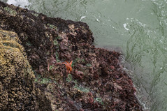 Tide Rock (linili101) Tags: crescentcity california star fish seaanemone