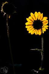 Blumen_046.jpg (greiner_max) Tags: flower america2016 hoglezoo object america plants places saltlakecity destinations flora genre objekt ortschaften pflanzen