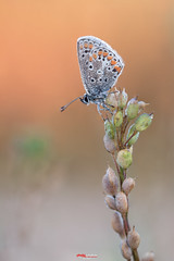 Bluling mit Tropfen 9.jpg (oliver r.) Tags: canon tamron macro makro nature natur insect insekt wildlife outdoor bluling schmetterling butterfly falter water wasser tropfen drops waterdrops wassertropfen tau morgentau