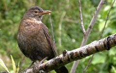 Who are you taken (Clouvux) Tags: wildlife bird birds trees tree treebranch forest