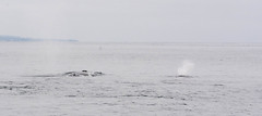 Whales (loumcf) Tags: blowhole mosslanding whalespout whale whales