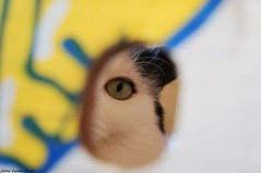 Nikki (sabinelacombe) Tags: regard chat yeux oeil felin jeu carton jaune