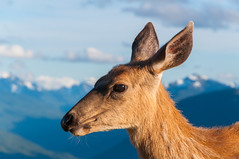 Deer (Valeriy T) Tags: hurricaneridge nationalpark olympic usa wa washington deer animals