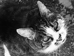 Looking up (Lala89_Photos) Tags: cat cats pet katze katzen haustier cute ss look blick tier animal feline mammal eyes augen blackandwhite bw blackwhite