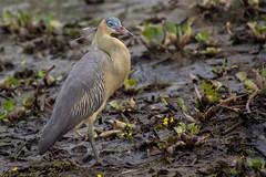 Whistling Heron (1) (Barbara Evans 7) Tags: whistling heron pantanal brazil barbara evans7