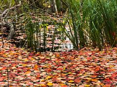 Floating autumn-leaves (totheforest) Tags: nikond7200 afsdxnikkor1685mmf3556gedvr htrsket bergnset lule norrbotten sweden autumn fall autumncolors hstfrger hstlv autumnleaves green grs grass lake sj water vatten