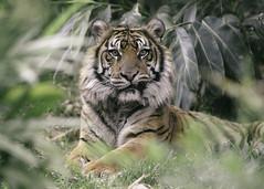 Snaggletooth (Paul E.M.) Tags: tiger sumatran teddy sandiego safaripark zoo stripes portrait cat feline predator smile crooked